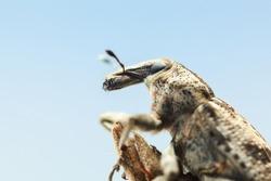 Macro portrait of Lixus iridis (long snouted weevil beetle) sitting on tree twig over blue sky background