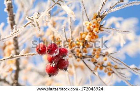 macro rowan berries and of sea buckthorn on branches covered with hoarfrost against the blue sky clear winter day