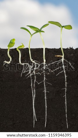 Macro sectional view in soil of five cucumber (Cucumis sativus) seedlings with long roots and fibrils, vertical in field over cloudy sky background #1159346395