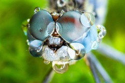 Macro sharp and detailed fly compound eye surface.Selective eye dragonfly and rain drop reflection on green leaf background.Insect eye and water reflect after rainy day.Wildlife insect concept.