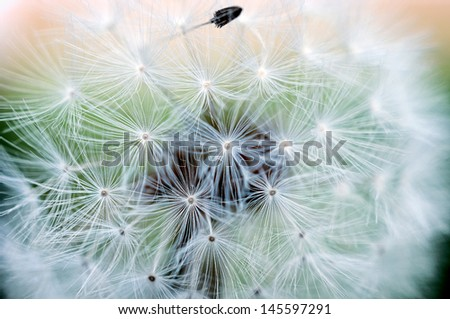 Macro shoot of the dandelion flower. Selective focus in the middle of flower