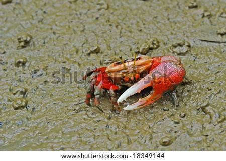 Macro shooting of red crab on mud