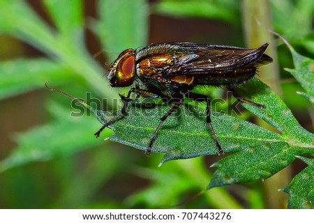 Macro shot. Beautiful nature scene Fly action on green leaf. Live house fly, Carrion fly, Bluebottles or cluster fly. Showing of eyes and wings detail. Insect close up. Extreme magnification.  #707443276