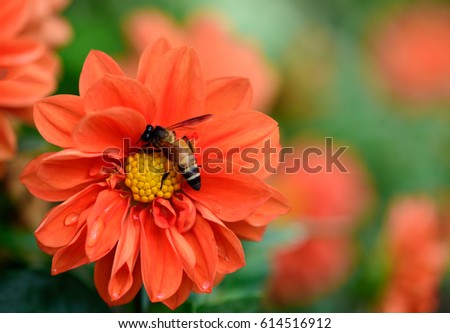 Macro shot, bee on beautiful orange chrysanthemum flowers shallow depth of field with soft background. #614516912