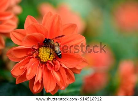 Macro shot, bee on beautiful orange chrysanthemum flowers shallow depth of field with soft background. #614516912