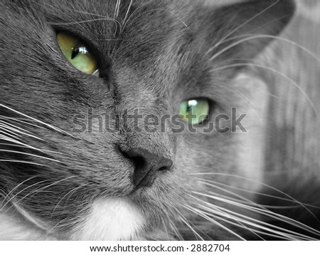 Macro shot, gray cat with green eyes