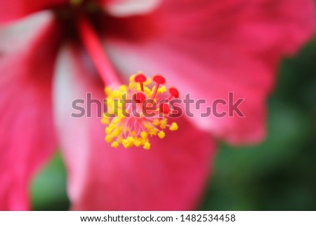 Macro shot of a beautiful and vibrant hibiscus flower. Red hibiscus flower on a green background. In the tropical garden. Real nature flowers.