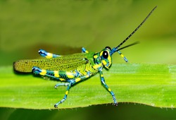 Macro shot of a beautiful Locust resting on a grass leaf