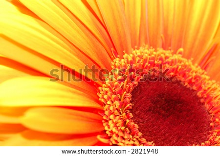 macro shot of a beautiful orange gerber daisy