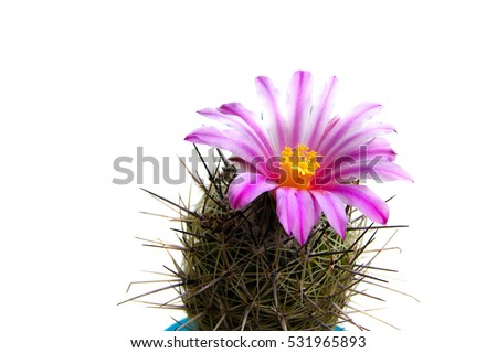 macro shot of a beautiful purple blooming cactus flower isolated on white, a perfect pot plant