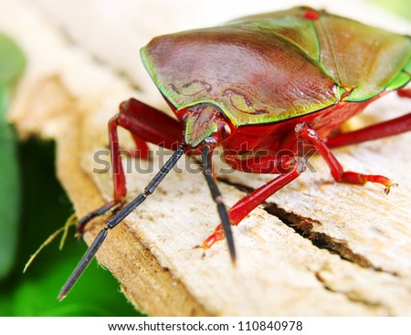 Macro shot of a Beautiful Red and Green Stink Bug resting on a piece of bark
