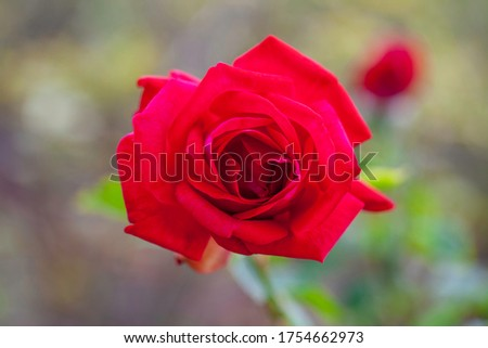 Macro shot of a beautiful red bush rose named 'Dame de Coeur', against a blurred background with bokeh effect.   Photo stock ©
