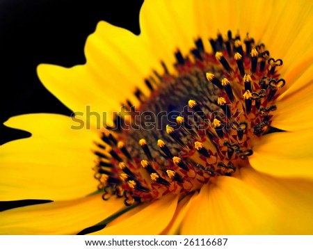 macro shot of a beautiful sunflower isolated on black background