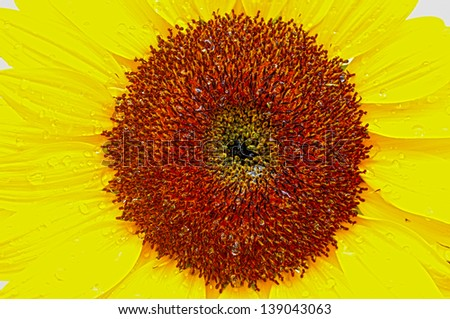 Macro shot of a beautiful sunflower with rain drops and white background