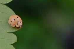 macro shot of a cute ladybug/ladybird