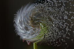 Macro shot of a dandelion with a twirl effect
