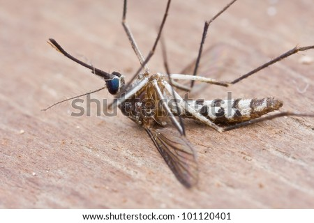 Macro shot of a dead mosquito