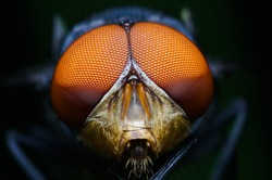 macro shot of a eyes of fly