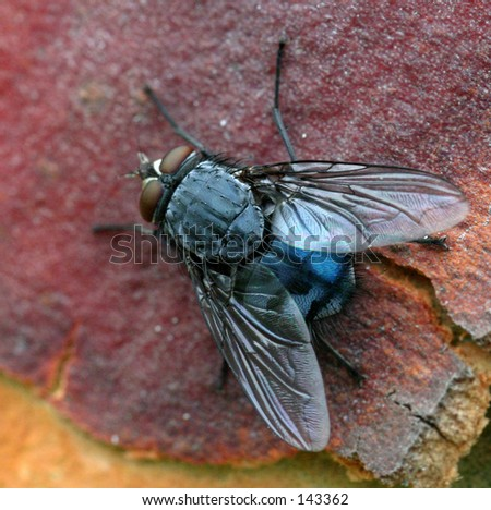 Macro shot of a fly...