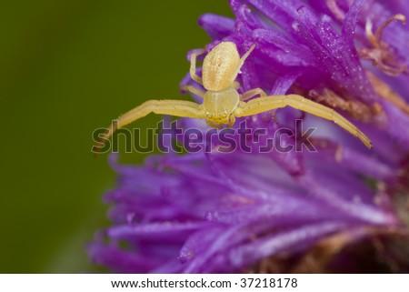 Macro shot of a golden crab spider on purple porcupine flower