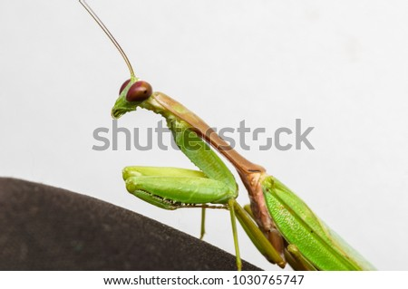 macro shot of a green mantis isolated on white #1030765747