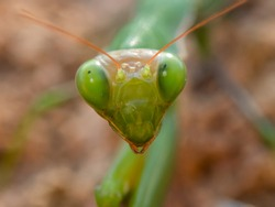 Macro shot of a green praying mantis on the forest floor, front view of a Sphodromantis viridis, great eyes of a green praying mantis