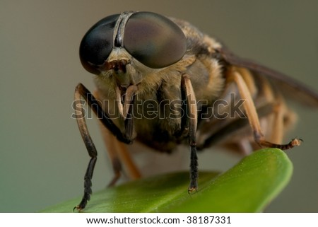Macro shot of a horse-fly