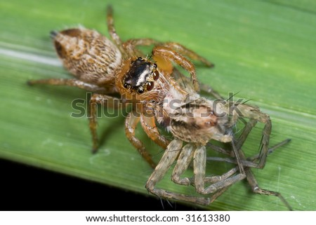 Macro shot of a jumping spider with prey - wolf spider