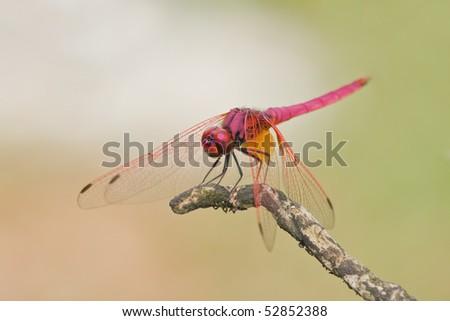 Macro shot of a male crimson dropwing dragonfly