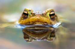 Macro shot of a  male toad in water