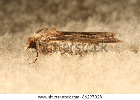 Macro Shot of a Moth on a Carpet in Melbourne, Australia
