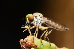 macro shot of a robber fly as it eats the insect. , Select eye focus