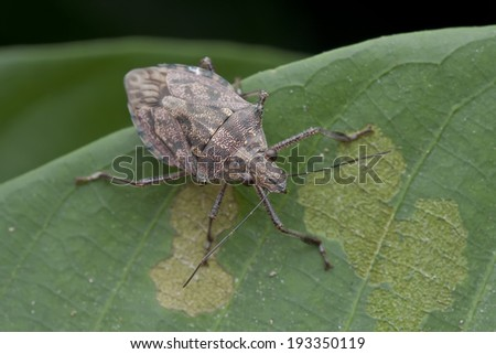 Macro shot of a shield bug on green leaf