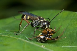 Macro shot of a spider wasp with prey - a spider