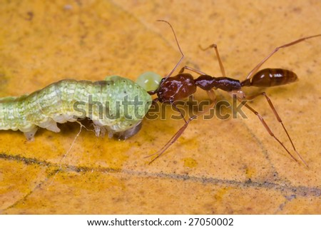 Macro shot of a trap jaw ant biting onto a caterpillar