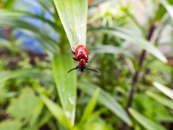 Macro shot of adult scarlet lily beetle (Lilioceris lilii) sitting on a green lily plant leaf blade in garden. Its forewings are bright scarlet and shiny. Legs, eyes, antennae and head are black