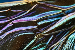 Macro shot of amazing textured glowing surface of bumblebee wing with glistening colors