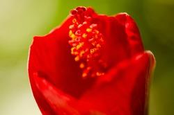 Macro shot of an Ibiscus flower