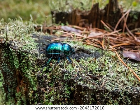 Macro shot of beutiful Dor beetle or spring dor beetle (Trypocopris vernalis) autumnalis Heer, dull black in colour with a variable blue and green metallic reflection on tree stump covered with lichen Stockfoto ©