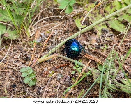 Macro shot of beutiful Dor beetle or spring dor beetle (Trypocopris vernalis), dull black in colour with a variable blue and green metallic reflection on forest floor, on ground among vegetation Stockfoto ©