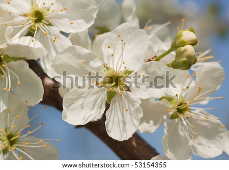 Macro shot of blossomed cherry-tree branch against blue sky