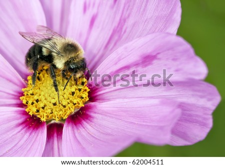 macro shot of bumble bee on pink flower - stock photo
