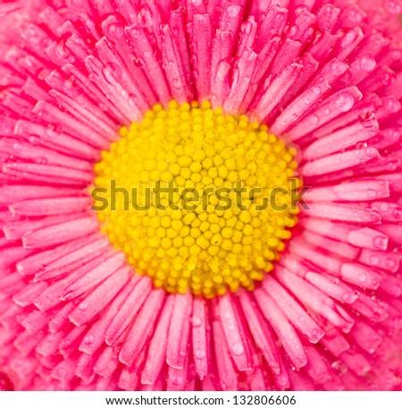 macro shot of daisy flower blossom, low depth of focus - stock photo