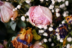 Macro shot of decaying pink rose amongst the white gypsophila
