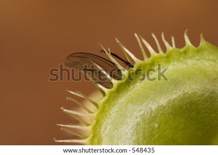 Macro shot of fly caught by venus fly trap