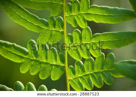 macro shot of fresh fern with back-lighting