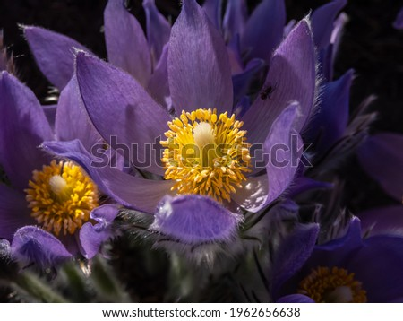 Macro shot of golden yellow stamens inside of purple flowers of Eastern pasqueflower (Pulsatilla patens) in early spring. The leaves, flowers and stalks are all covered with silver white hairs Stok fotoğraf ©
