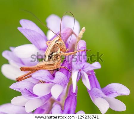 Macro shot of grasshopper sitting on the flower