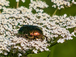 Macro shot of green and copper rose chafer (Cetonia aurata) on a white flower