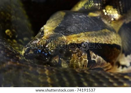 macro shot of head boa snake focus on eye